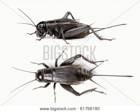 Top and side view of black cricket