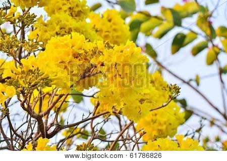 Silver trumpet flower blooming on tree in garden poster