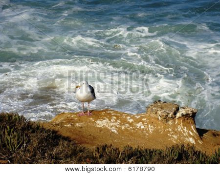 Lone Seagull Looking for a Easy Meal on Lajolla Cliff poster