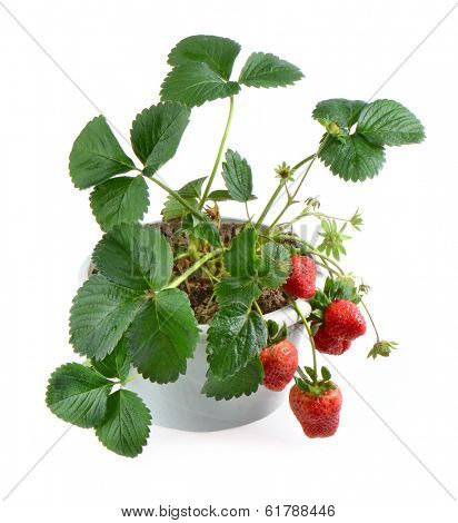strawberry plant pot isolated on white background