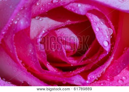 Close Up Pink Fresh Rose