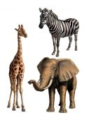 Giraffe elephant and zebra. African wildlife original digital illustration. Clipping path included. poster