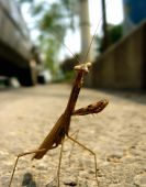 A praying mantis holds its traditional pose in an urban setting. poster
