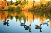 Flock of wild geese in fall forest. Focus on geese poster