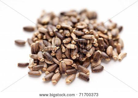 Silybum marianum or Mediterranean milk thistle seed