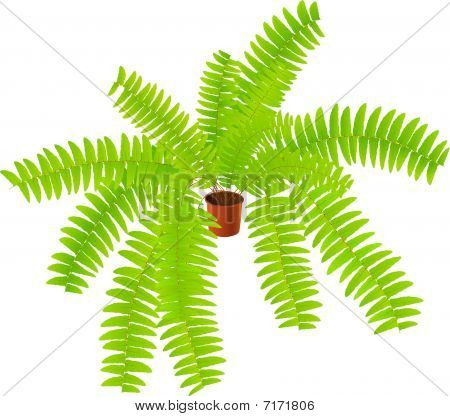 house ferny plant