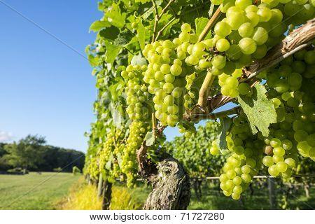 Chardonnay Grapes in a Vineyard