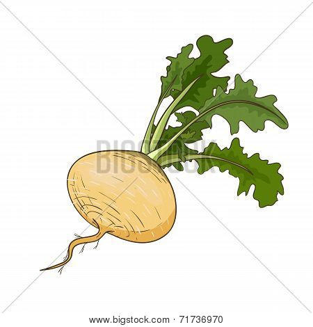 Vector turnip isolated on white