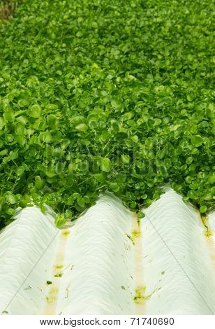 Watercress Plants In Hydroponic Culture