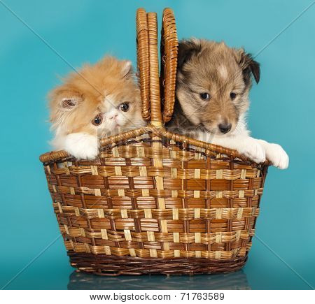 Spitz puppy and Persian kitten, Cat and dog