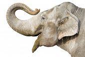 head of elephant poster
