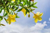 Golden Trumpet flower or Allamanda cathartica in the garden or nature park poster