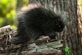 Baby Porcupine (Erethizon dorsatum) Stands on Branch - captive animal poster