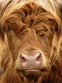 Curious highland cow stares at camera poster