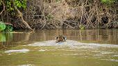 Rear view of Jaguar swimming in Pantanal, Brazil poster