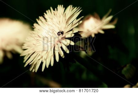 Ladybug sitting on a dandelion