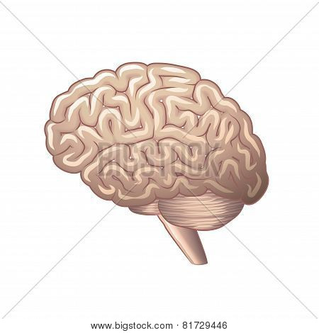 Brain Anatomy Isolated On White Vector