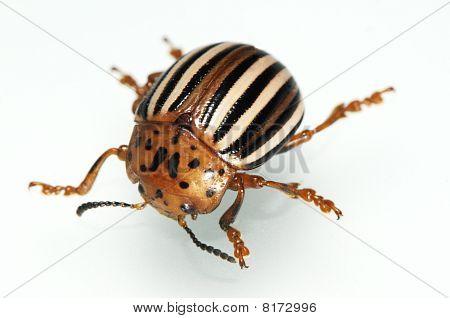 False Potato Beetle (sometimes Horsenettle Beetle), Leptinotarsa Juncta