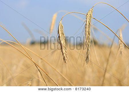 ears in the field