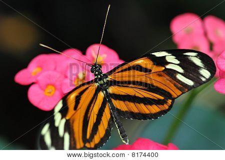 Lycorea cleobaea butterfly