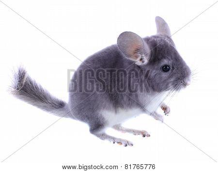Gray Ebonite Chinchilla On White Background
