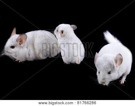 Family  Of White Ebonite Chinchilla On Black