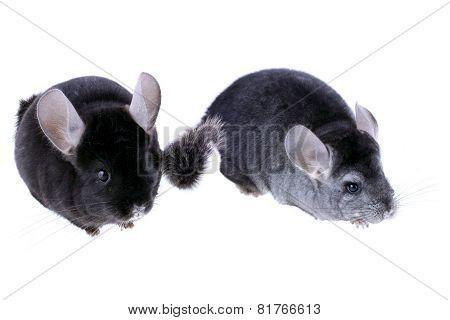 Couple Of Gray Ebonite Chinchilla On White.