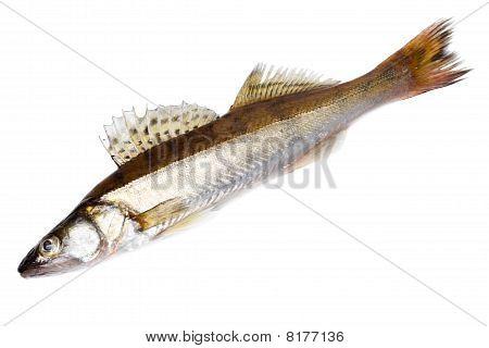 Zander (sander Lucioperca)
