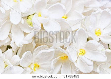 Beautiful  White  Lilac. Macro.