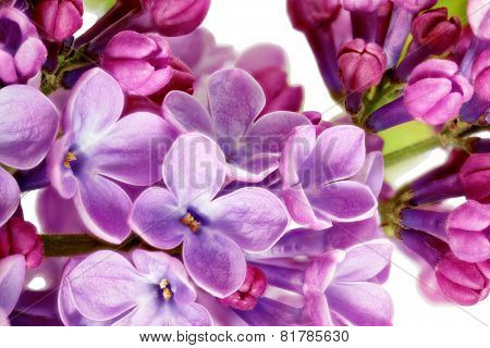 Beautiful Lilac in the Vase. Isolated over white. poster