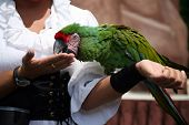 Military macaw eating a treat out of the hand of the trainer poster