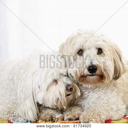 Portrait of two coton de tulear dogs snuggling together