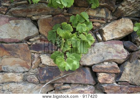 Grapevine And Stone Wall