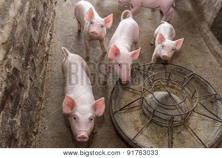 piglets at farm