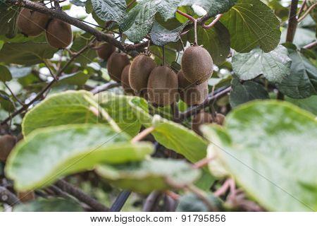 Kiwi Plant