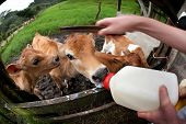 Feeding hungry calves on Costa Rican dairy farm poster