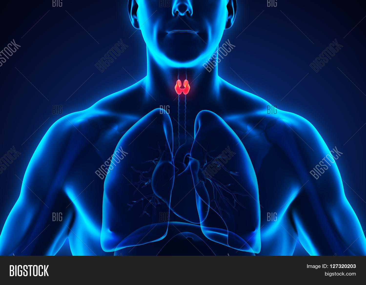 Human Thyroid Gland Image Photo Free Trial Bigstock