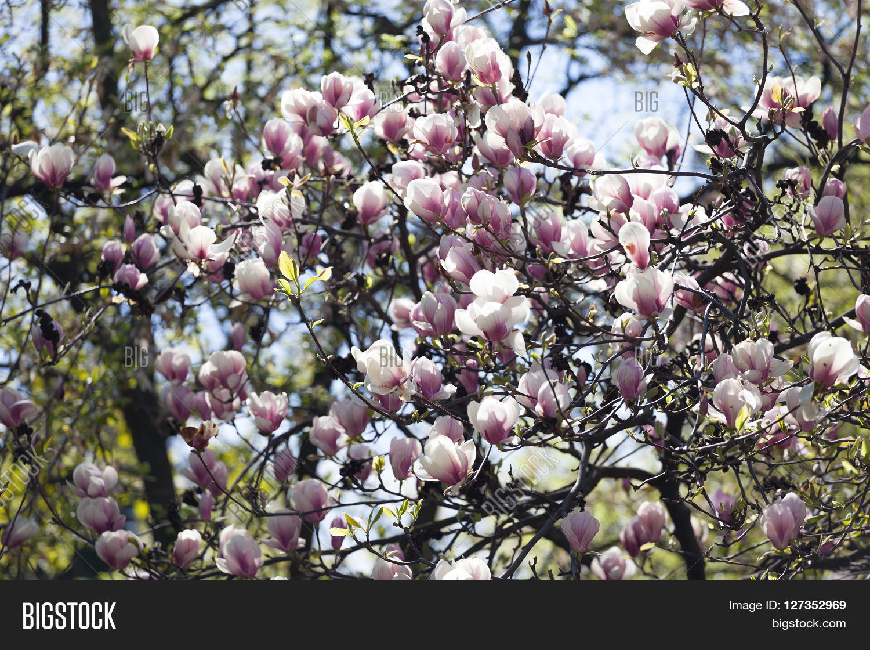 Bloomy Magnolia Tree Image Photo Free Trial Bigstock