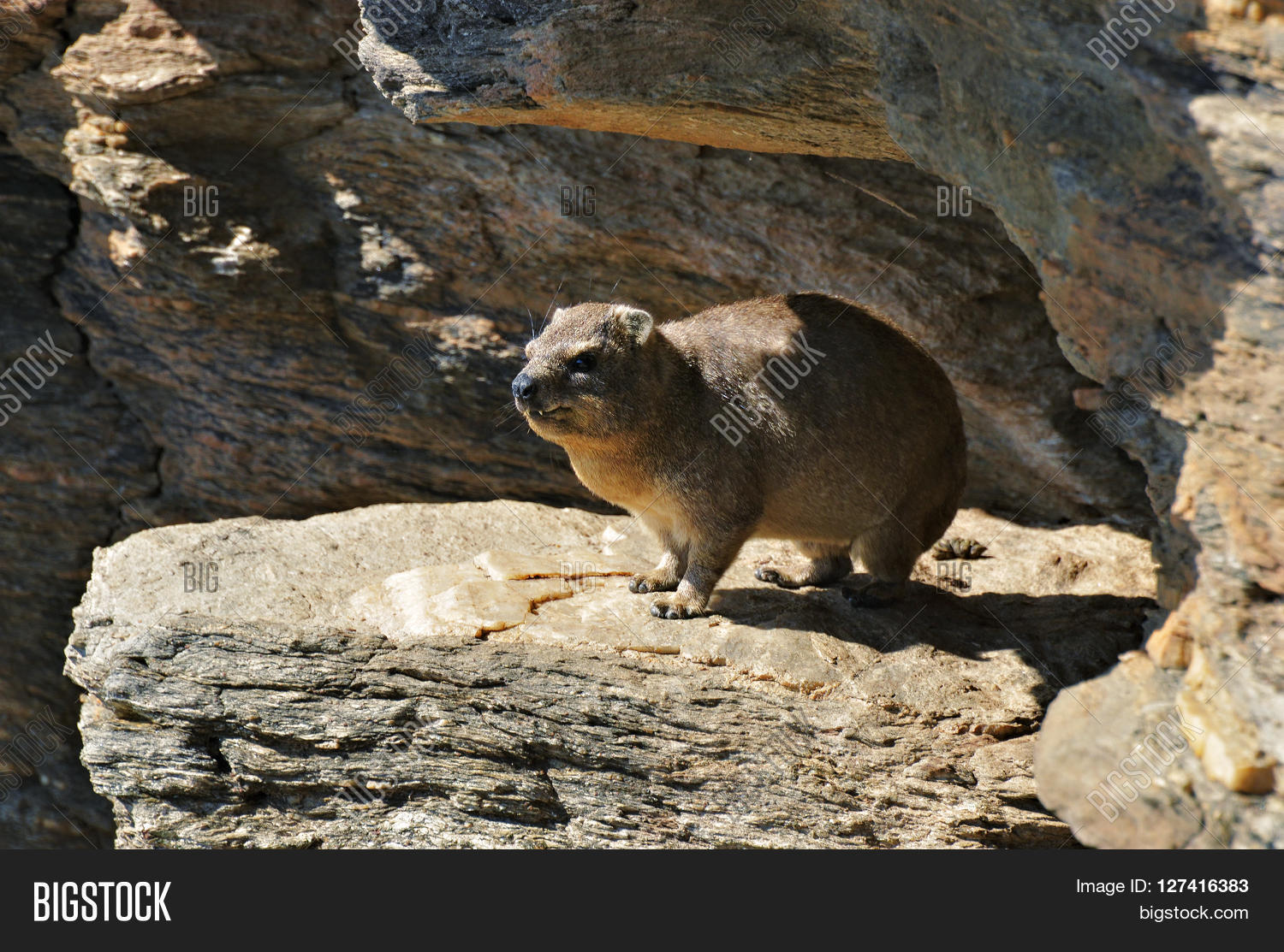 the survival of the rock hyrax in My study is concerned with establishing how species can survive in urban from 2000 until 2030 the urbanized areas will be nearly tripled1 because of the demographic transition from rural to urban the use of dark building materials, such as asphalt and concrete, leads to a lower albedo in urbanized.
