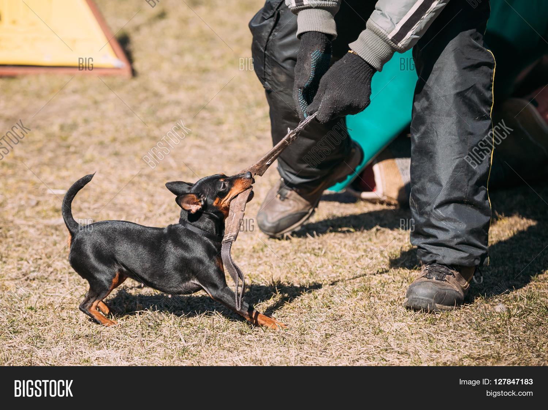 Miniature Pinscher Dog Image Photo Free Trial Bigstock