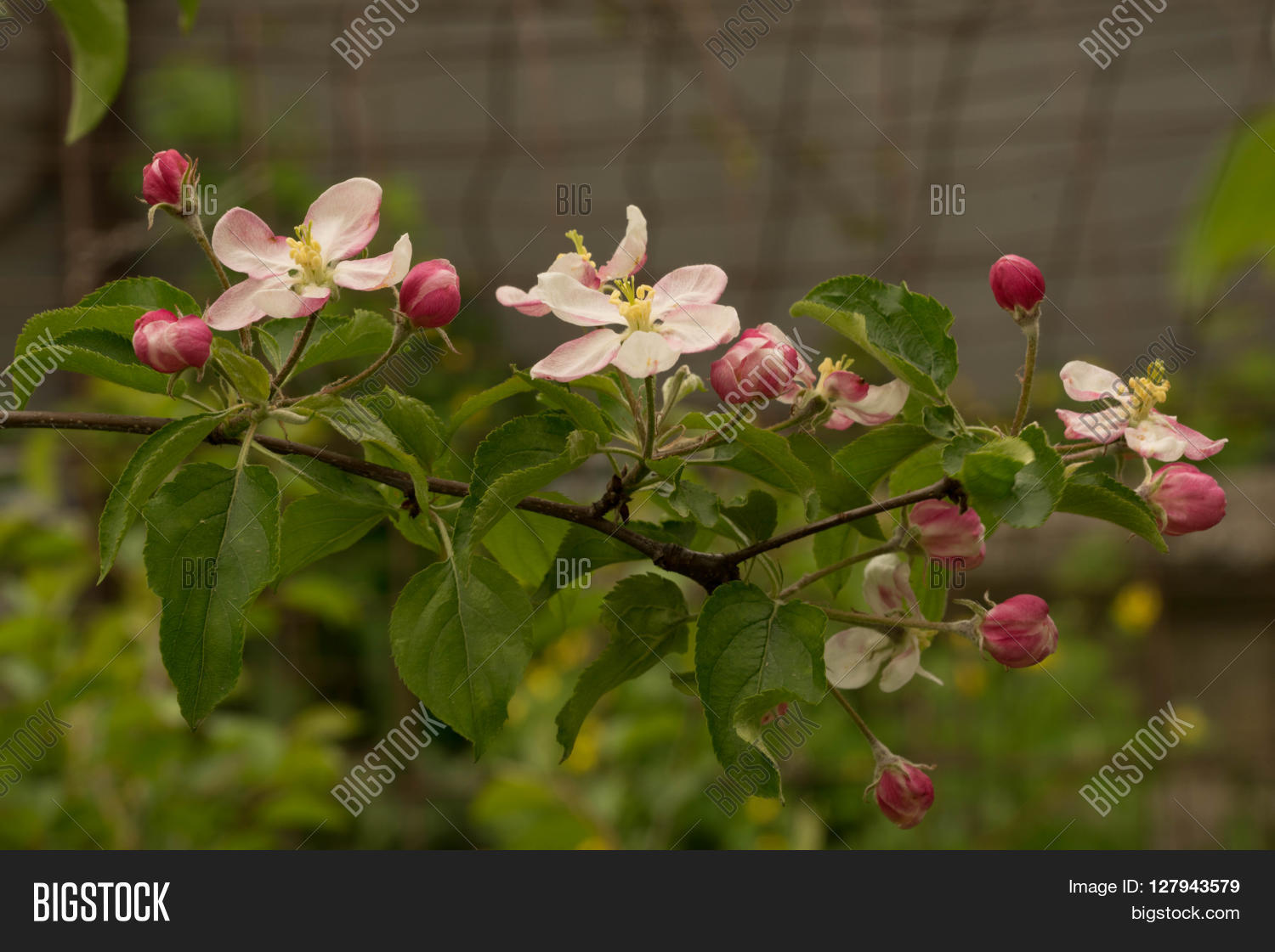 Apple Trees In Bloom The Branches Of