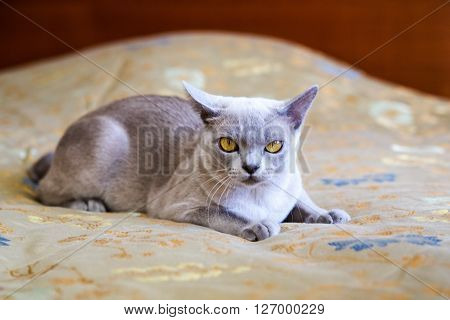 Domestic exotic cat lying in the bedroom