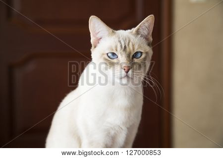 Mekong bobtail young cat remains very calm