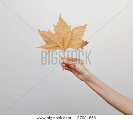 Woman hand holding an autumn leaf isolated on gray background.