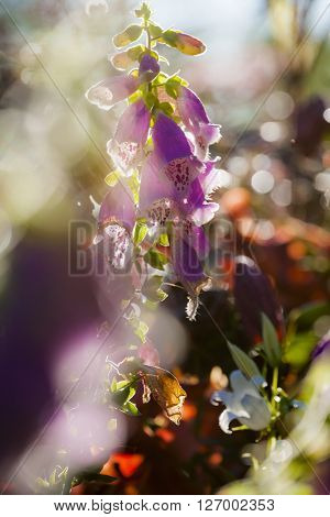 Purple foxglove flowers, also known as Digitalis