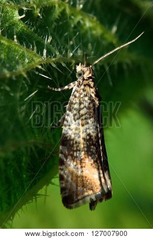 Celypha lacunana tortrix micro moth. Small British insect in the family Tortricidae, in the order Lepidoptera, at rest