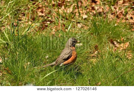 A robin in the sun on the ground.