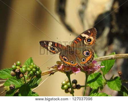 A buckeye butterfly (Junonia coenia) rests on a branch.
