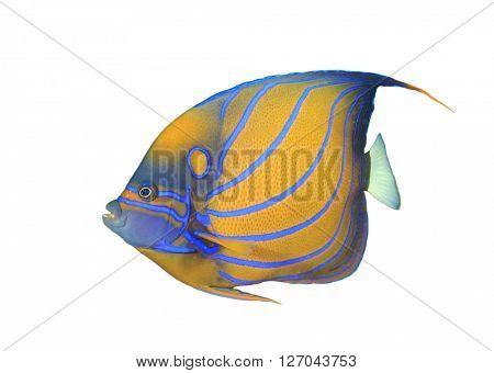 Tropical fish: Blue-ringed Angelfish isolated on white background