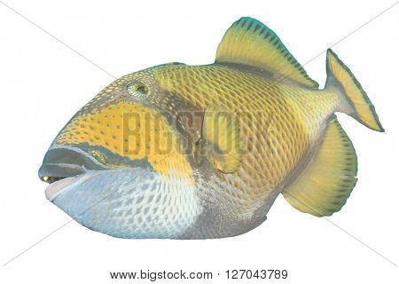 Tropical fish: Titan Triggerfish isolated on white background